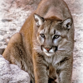 Kid Watching by Elaine Malott - Animals Lions, Tigers & Big Cats ( cats, animals, nature, catamount, mountain lions, wildlife, cougars, panthers, florida panthers, felines, pumas )