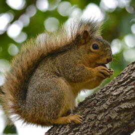 Fox Squirrel Eating Acorn by Steven Bach - Animals Other Mammals