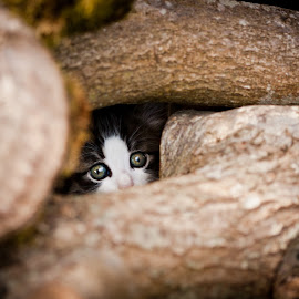 Scaredy Cat by Alex Rift - Animals - Cats Kittens ( kitten, cat, hiding, scaredy, cute )