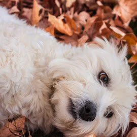 Zoi in Fall by KRISTOPHER HILL - Animals - Dogs Portraits ( playing, fall, white dog, puppy, zoi, leaves, dog,  )