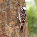 Red-cocaded Woodpecker