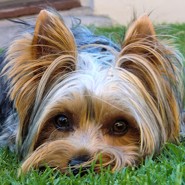 Jet having Fun by John Cope - Animals - Dogs Portraits ( yorkie, yorkshire terrier, dogs.dog portraits )