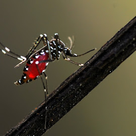 The mosquitos by Andri Priyadi - Animals Insects & Spiders ( mosquito, nikon, insect )