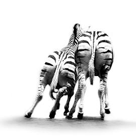 Zebra by Mari du Preez - Digital Art Animals ( black and white, canvas, zebra, mammal, animal )