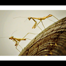 New Life by Susan Gooch - Nature Up Close Hives & Nests ( nature, baby insects, preying mantis, new life, insects, macro. )