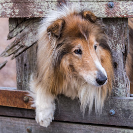 I Think I Can Squeeze Through..... by Paul Milliken - Animals - Dogs Portraits ( collie rough, collie, rough collie, lassie, dog )