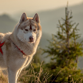 Ike by Tudor Migia - Animals - Dogs Portraits ( sunset, husky, syberian, dog, sunset light, bokeh, pentacon auto 2.8/135 )