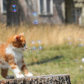 by Maja  Marjanovic - Animals - Cats Playing ( cats, animals, cat, kitten, bubbles, kittens, kitty, animal )