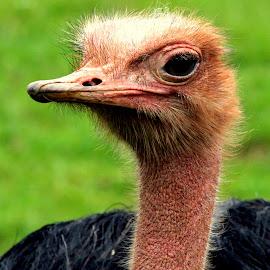 Ostrich by Ralph Harvey - Animals Birds ( bird, ostrich, wildlife, ralph harvey, bristol zoo )