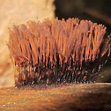 Chocolate Tube Slime Mold