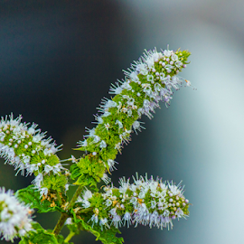 Mint Flower by Paul McLaughlin - Nature Up Close Other plants