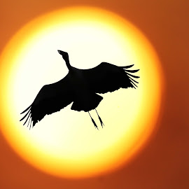 Ikarus by Mantra Trivedi - Abstract Patterns ( bird, golden, sun )