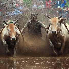 Traditional cow race by Ed Nofri - Sports & Fitness Rodeo/Bull Riding
