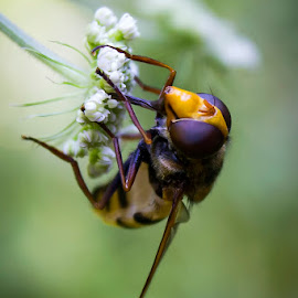 Fly by Aleš Jazbec - Animals Insects & Spiders ( macro, wasp, nature, fly, flower )