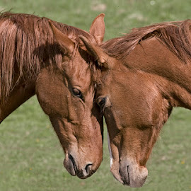 Love by Allan Wallberg - Animals Horses (  )