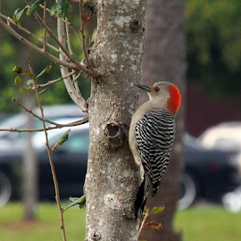 Red Bellied Woodpecker on a Tree by Jill Nightingale - Novices Only Wildlife ( wild, wood pecker, red-bellied, bill, wood, bright, colorful, clinging, wildlife, feather, red head, bird, red, tree, nature, florida, beak, redhead, woodpecker, feathered, animal )
