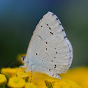 Holly Blue or Faulbaum-Bläuling
