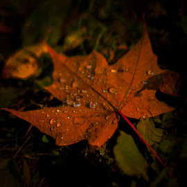 Fall Color by Brian Coughlin - Nature Up Close Leaves & Grasses ( water, orange, sun glow, fall, leaf, color, colorful, nature )