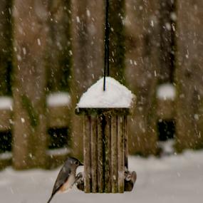 Snow Bird by Frank Matlock II - Animals Birds ( bird, winter, snowbird, snow, feeder )