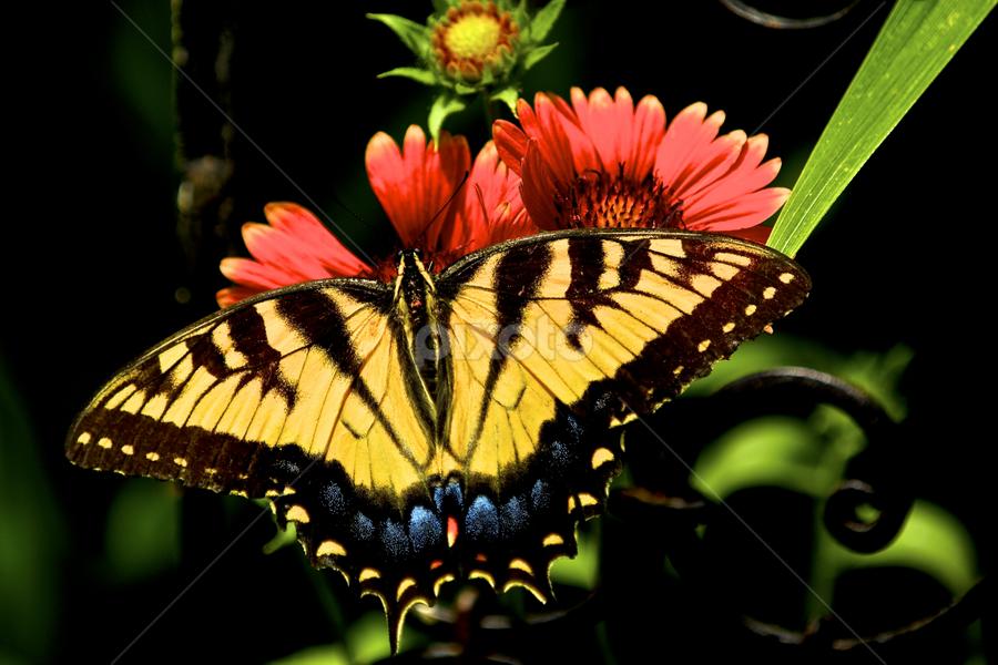 Portrait of an Eastern Swallowtail by Kimberly Davidson - Animals Other ( nature, butterfly, glardia arizonia sun, butterflies in the garden, eastern swallowtail, wildlife )