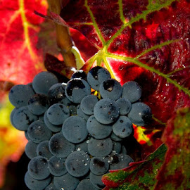 Grape Harvest by Gale Perry - Food & Drink Fruits & Vegetables ( , fall, color, colorful, nature )
