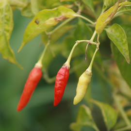Three Chilies by Gebyar Andyono - Nature Up Close Gardens & Produce ( colour, indonesia, pixoto, spices, chili )