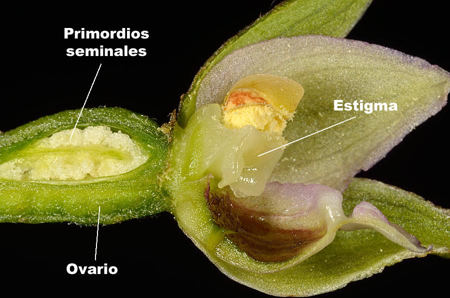 Estigma y ovario de Epipactis distans