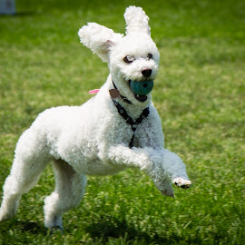 Got it! by Tim Davies - Animals - Dogs Running ( joyful, fetch, poodle, happy, return, fluffly, running )