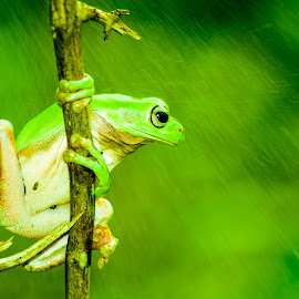 Frog in the rain by Sofyan Ian - Animals Amphibians ( #animal#macro#natur#natural )