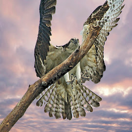 Osprey landing on a dead tree by Sandy Scott - Digital Art Animals ( landing raptor, birds of prey, osprey in flight, florida birds, landing osprey, birds, raptors, osprey,  )