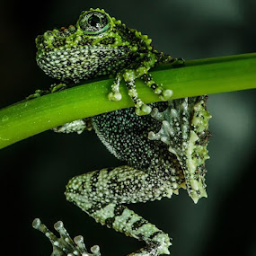Hang on by Lisa Coletto - Animals Amphibians ( frog, vietnamese, exotic froh, vietnamese mossy frog, green frog,  )