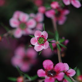 A Strand of Pink Flowers by Steve An - Novices Only Flowers & Plants ( flash, nighttime, depth of field, bokeh )