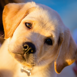 Ol' Yeller Pup by Gary Kasl - Animals - Dogs Puppies ( san diego, dog portrait, adorable, puppy, labrador, cute )