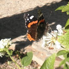 Vanesa. Red admiral