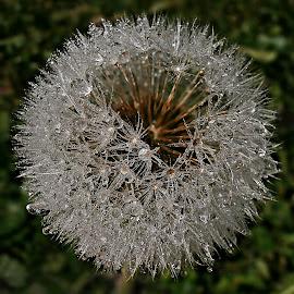 Heart Is Broken by Marija Jilek - Nature Up Close Other plants ( heart, dandelion, nature, drops, plants, seeds, hole )