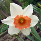 Long-cupped Narcissus