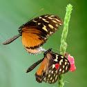 Cortejo de mariposas