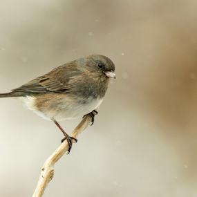 Dark eyed Junco by Herb Houghton - Animals Birds ( herbhoughton.com )