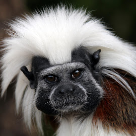 Cotton Top Tamarin by Ralph Harvey - Animals Other Mammals ( wildlife )