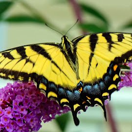 Beauty of a Swallowtail by Debbie Wnukoski - Animals Insects & Spiders ( butterfly, macro, nature, wings, yellow,  )