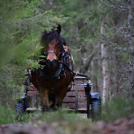 working horse by Kristin Smestad - Animals Horses ( draft, workhorse, hest, horse, forest,  )