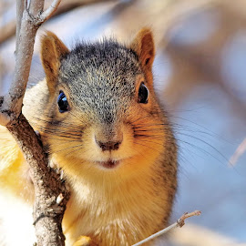 Squirrel by Sue Heckman - Animals Other Mammals ( animal portrait, nature, nature up close, squirrel )