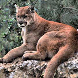 by Don Mann - Animals Lions, Tigers & Big Cats ( cat, cougar, puma, mountain lion, feline )