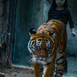 A Day at the Zoo by Paulo Peres - Animals Lions, Tigers & Big Cats ( big cat, girl, zoo, tiger, el apso,  )