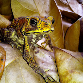 toad  by Hendrata Yoga Surya - Animals Amphibians