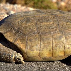 Desert Tortoise  by Daniel Hackett - Animals Reptiles ( tortoise, desert, wildlife, endangered, reptile )