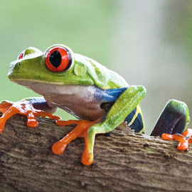 by Betty Arnold - Animals Amphibians ( red eyed tree frog,  )
