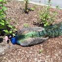 Peacock/peafowl