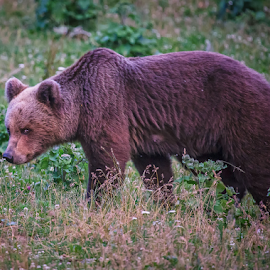 Brown bear family by Stanislav Horacek - Animals Other Mammals