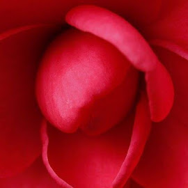 camellia by Jo Anne Keasler - Novices Only Macro